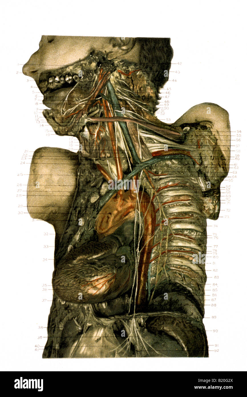 AND ITS RELATION TO PHRENIC AND SYMPATHETIC NERVES ILLUSTRATION DISSECTION PNEUMOGASTRIC NERVE - Stock Image