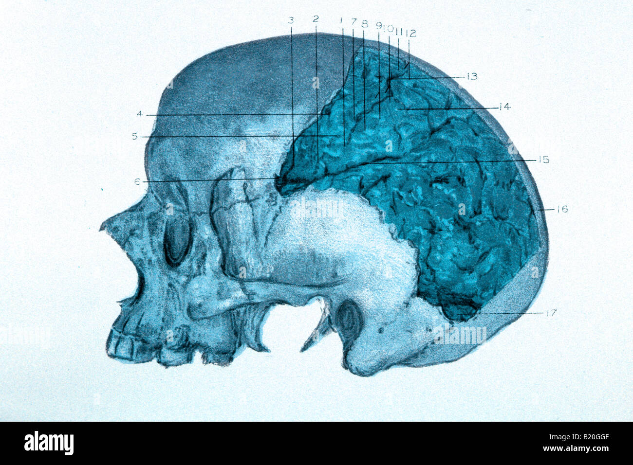 ILLUSTRATION SKULL WITH CEREBRAL HEMISPHERE SHOWN - Stock Image