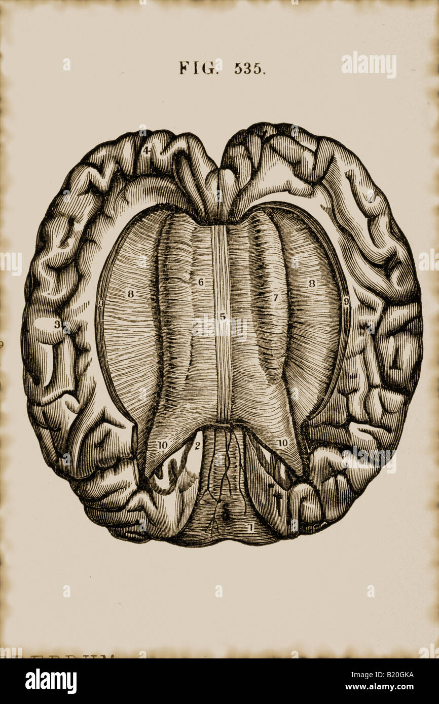 ILLUSTRATION CORPUS CALLOSUM OF BRAIN Stock Photo: 18452766 - Alamy