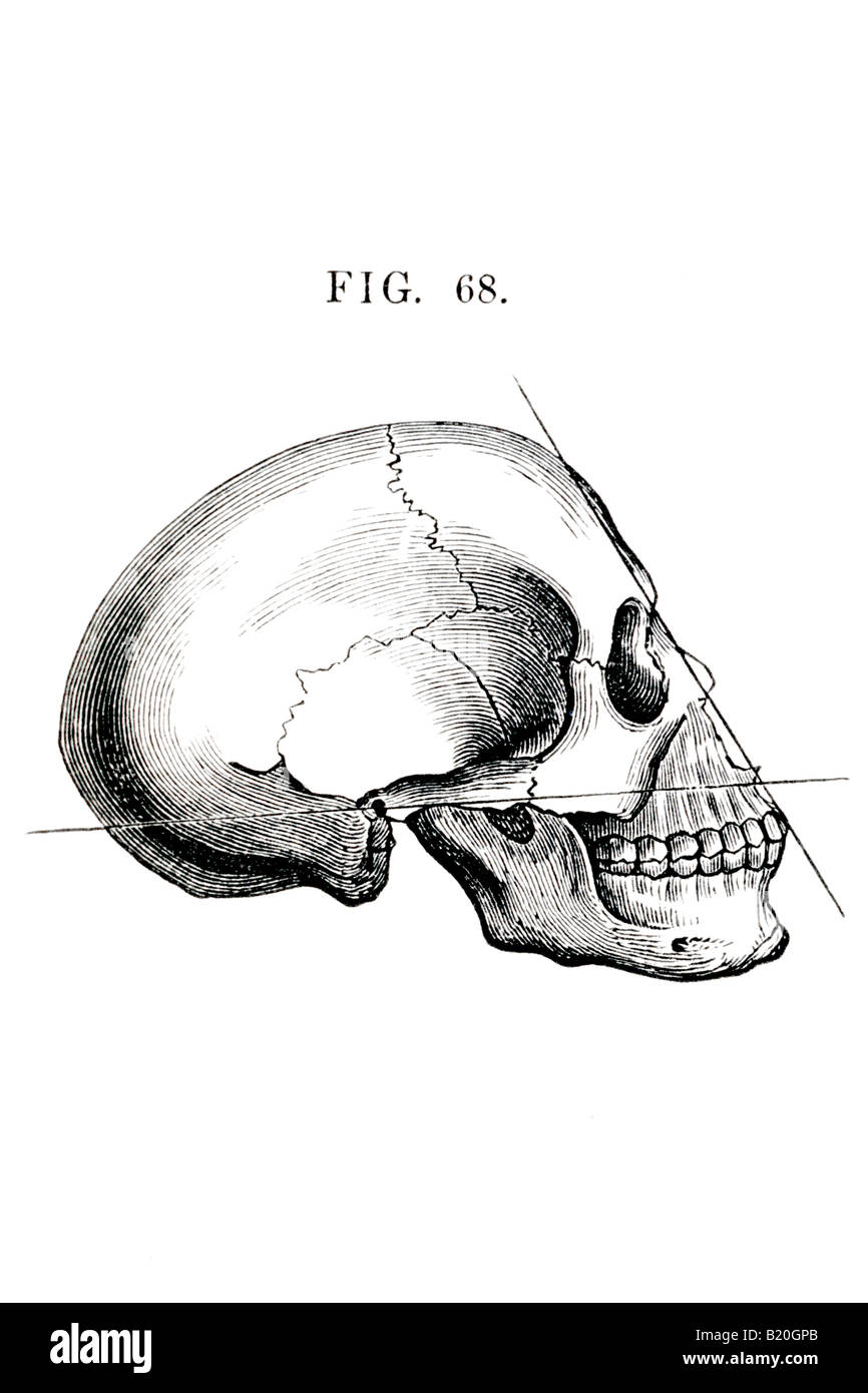 Lateral Skull Stock Photos Lateral Skull Stock Images Alamy