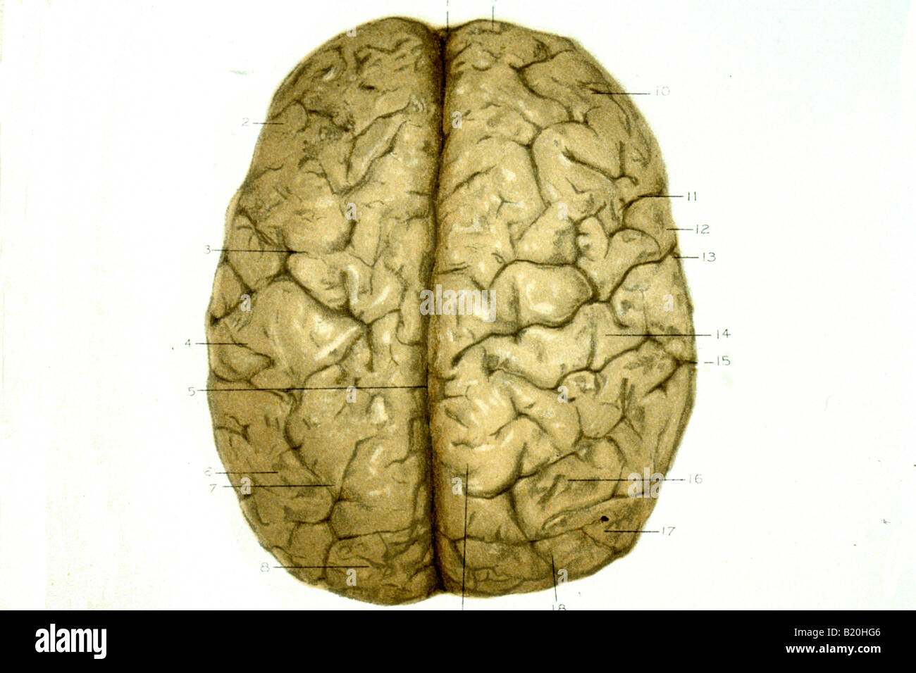 Brain Surface Anatomy Stock Photos & Brain Surface Anatomy Stock ...