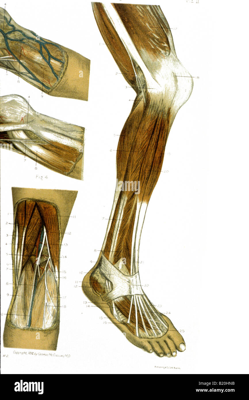 Human Leg Nerves Stock Photos Human Leg Nerves Stock Images Alamy