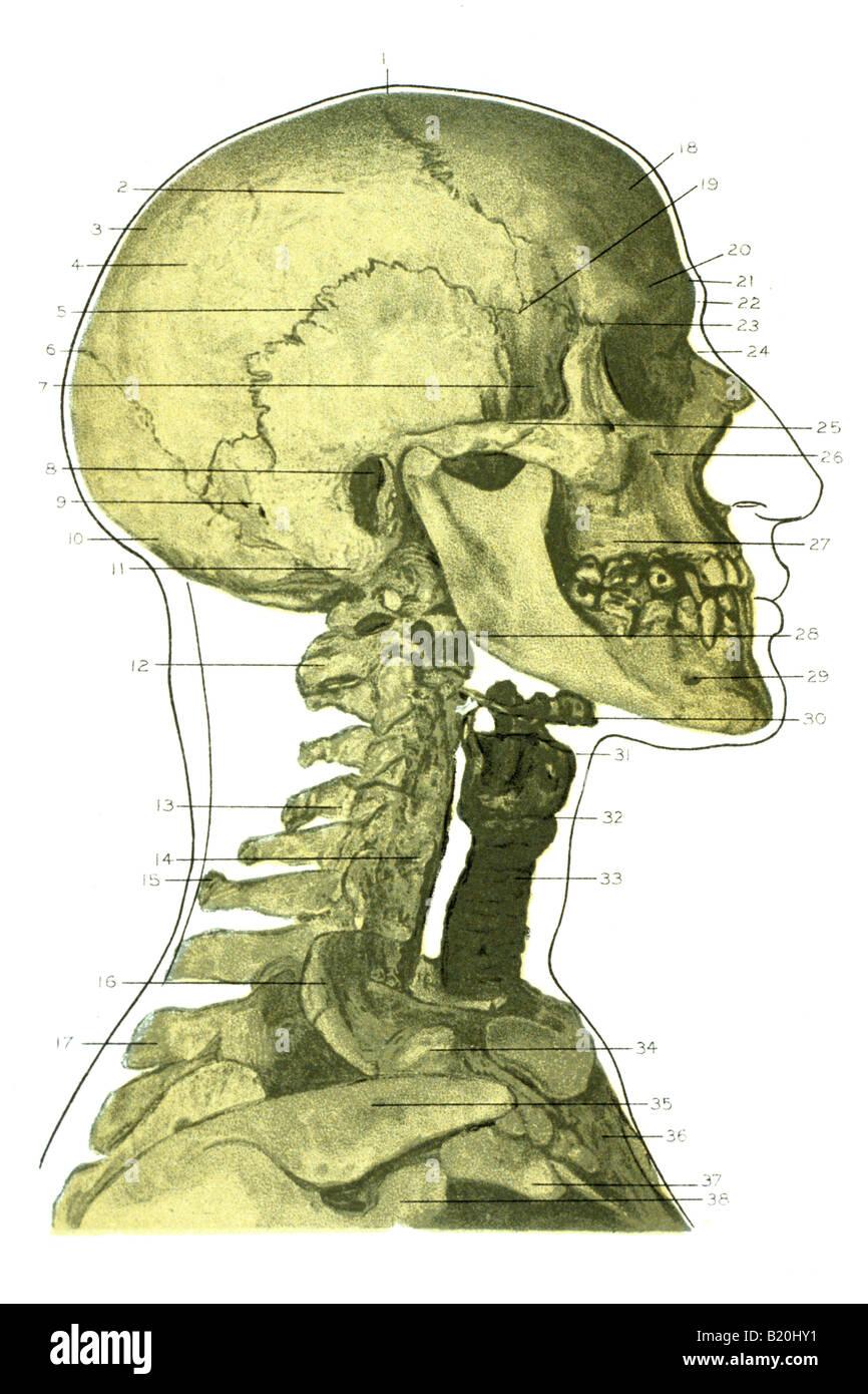 illustration skeleton head face and neck