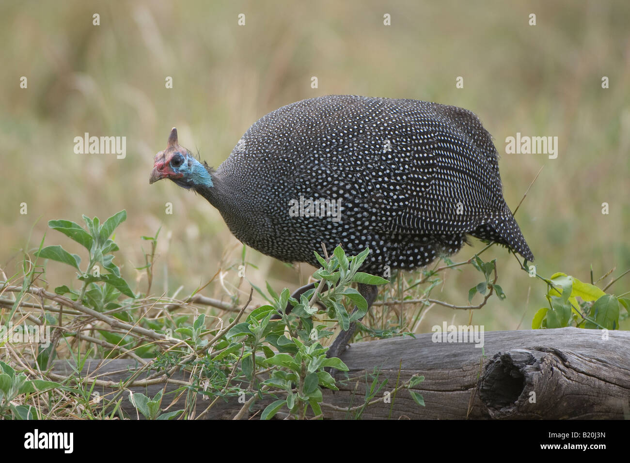 Crested Guineafowl - Stock Image