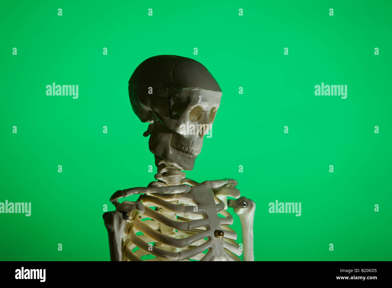 Human Skeleton Model Stock Photos & Human Skeleton Model Stock