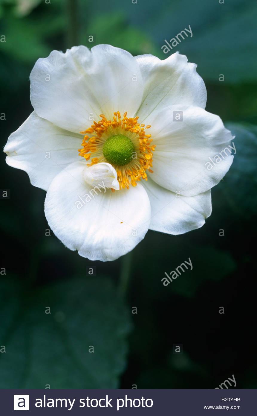 Anemone X Hybrida Honorine Jobert Late Summer White Flowering Tall