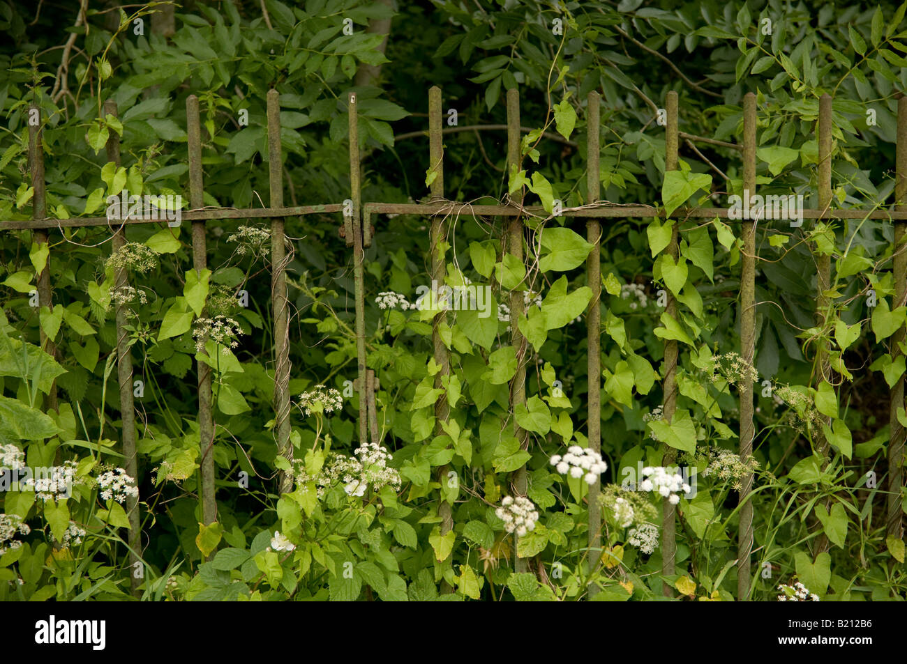 rusty green cast or wrought iron metal railings overgrown with weeds and vines being reclaimed by nature - Stock Image
