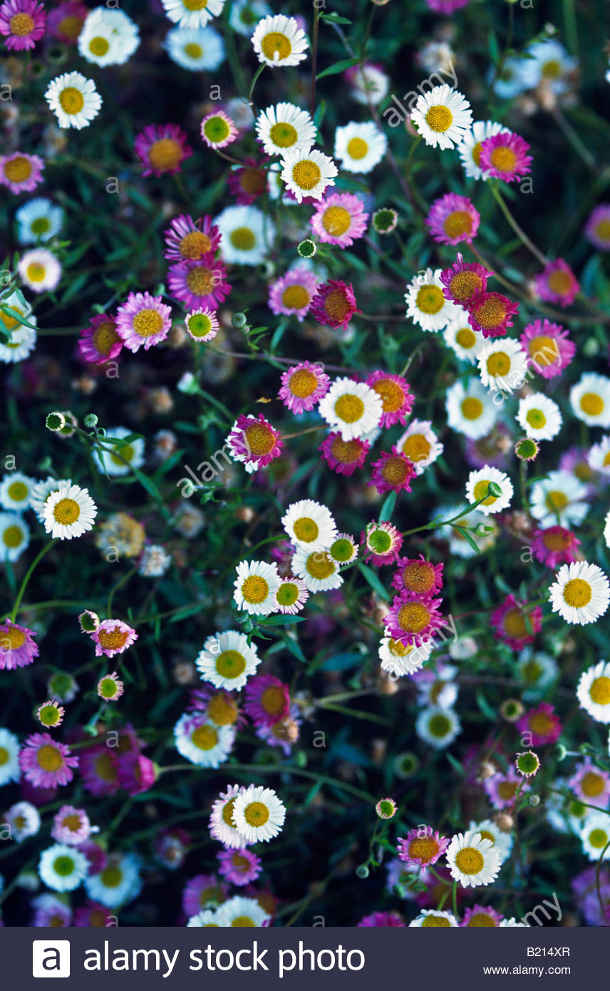Small White Daisy Like Flowers Stock Photos Small White Daisy Like