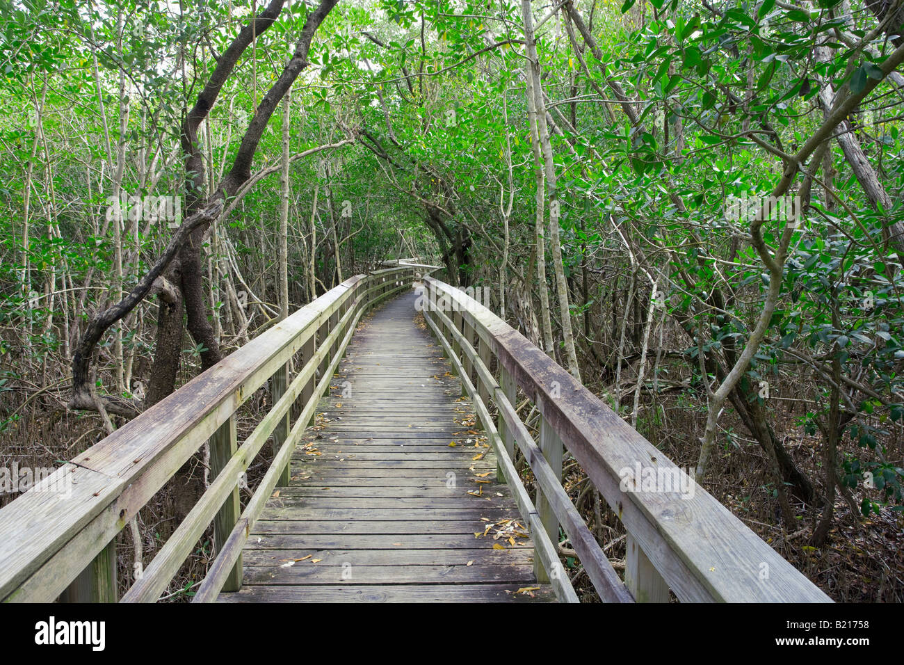 walkway through dense forest in Everglades National Park, Florida, USA - Stock Image