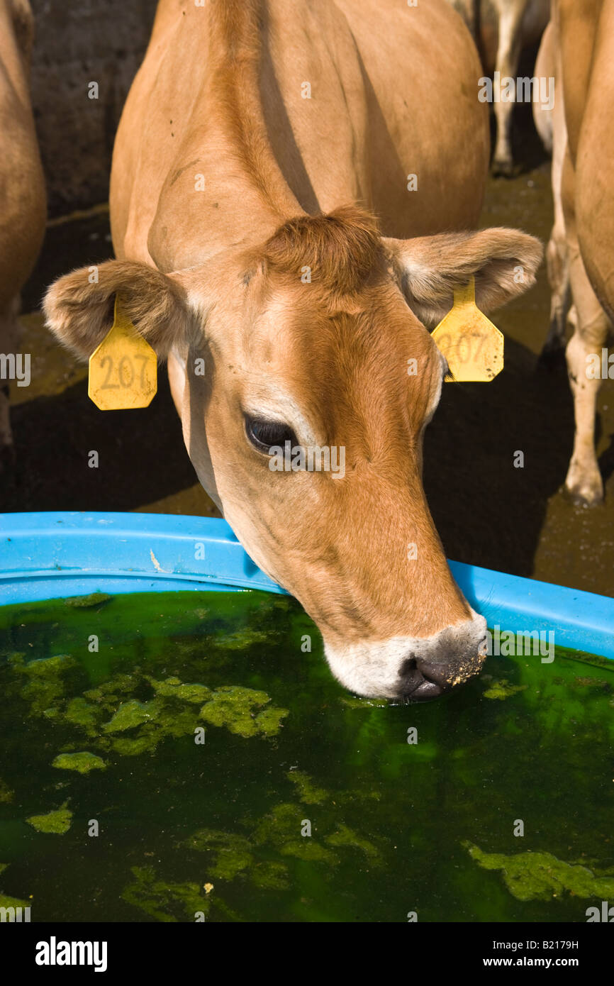 Jersey cow drinking, water trough. - Stock Image