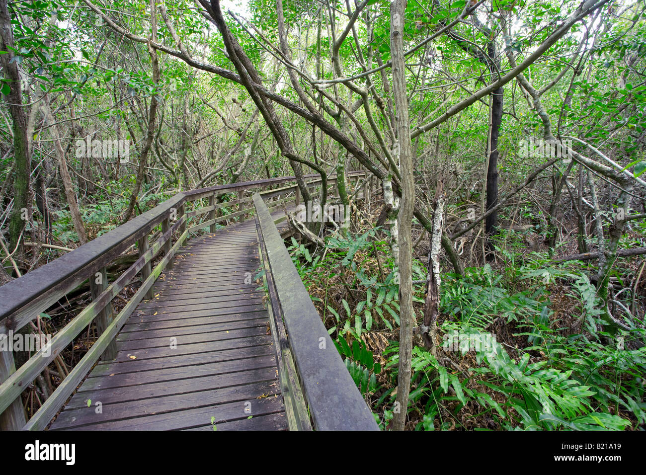 walkway through everglades national park forest in Florida, USA - Stock Image