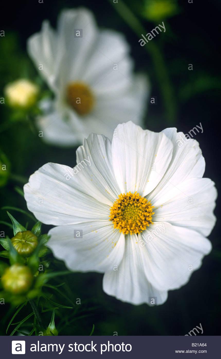 Cosmos Bipinnatus Cosmos Close Up Of The White Daisy Like Flowers