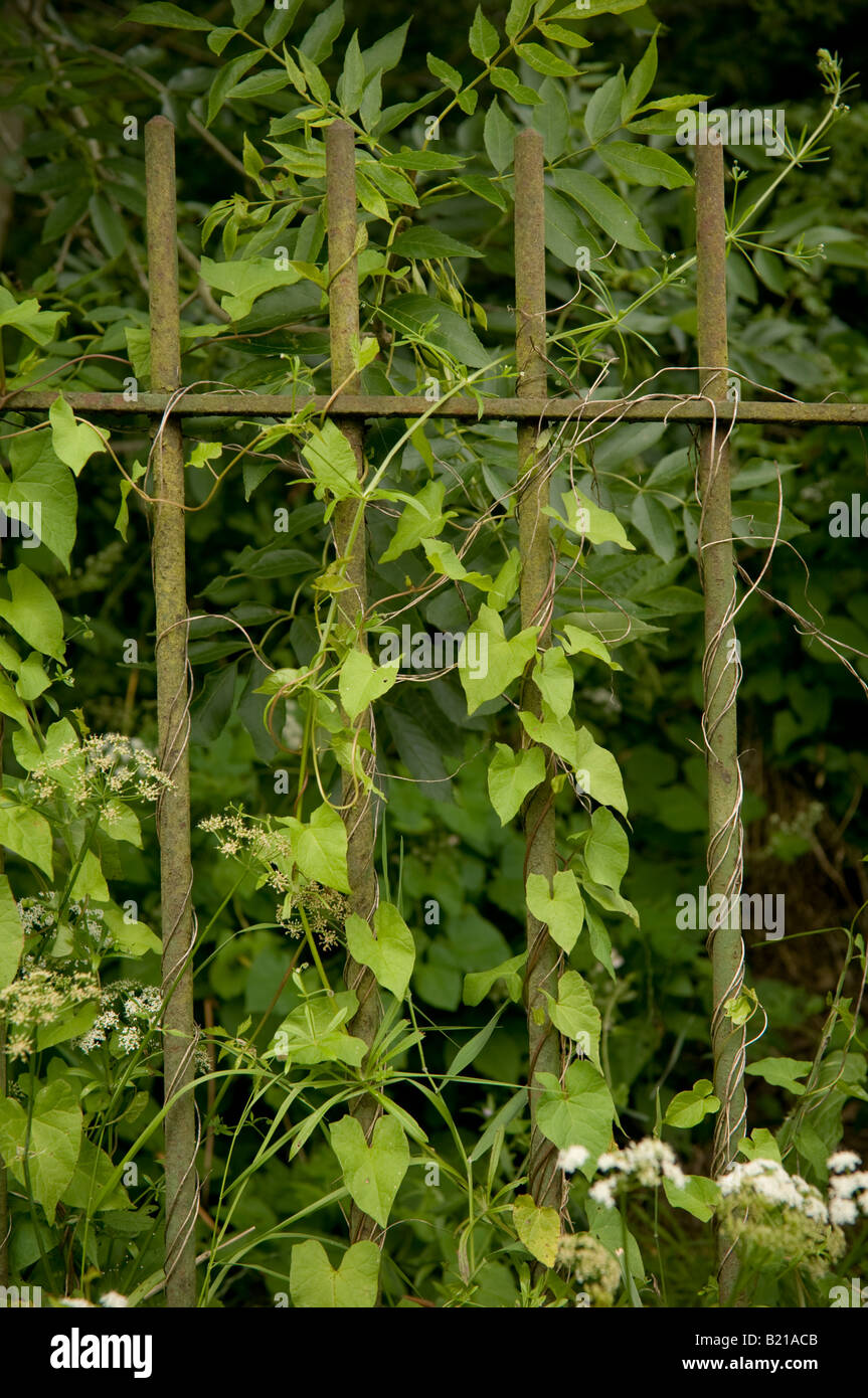 rusty green cast iron railings overgrown with weeds and vines - Stock Image