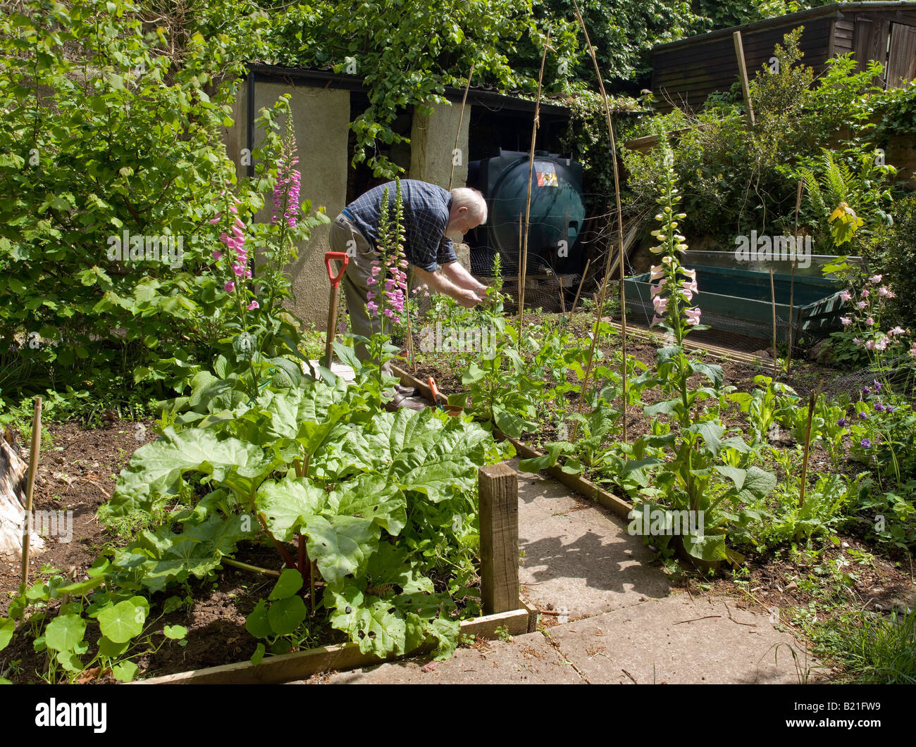 MAN TENDING PLANTS IN VEGETABLE AND FLOWER PLOT IN SPRING MAY UK FOR GROWING SEQUENCE SEE ARWV - Stock Image
