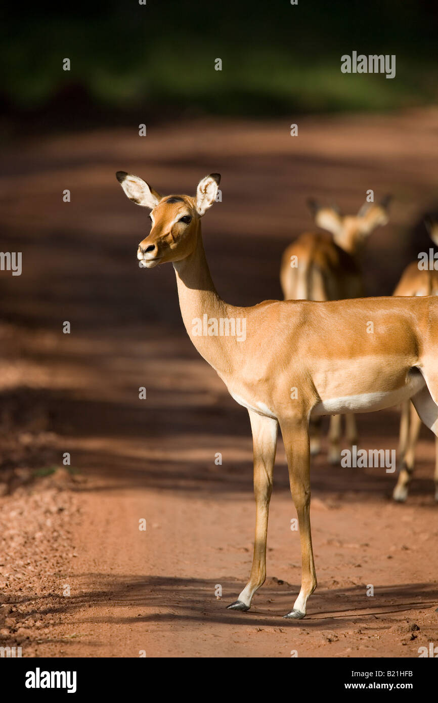 Female Impala Aepyceros melampus Lake Manyara National Park Tanzania - Stock Image