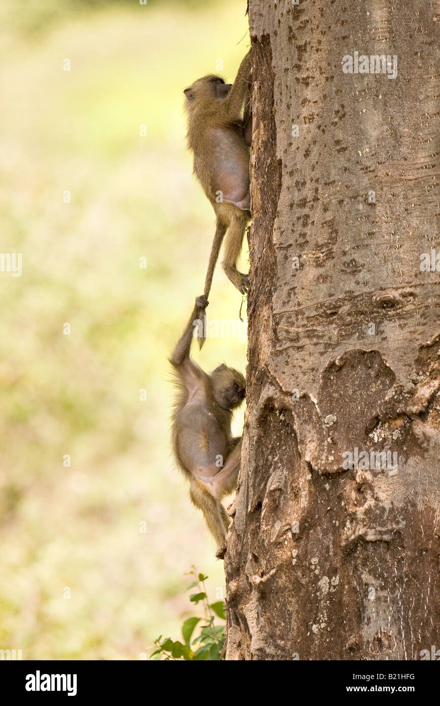 Young Olive Anubis Baboons Papio anubis playing in Lake Manyara National Park Tanzania Stock Photo