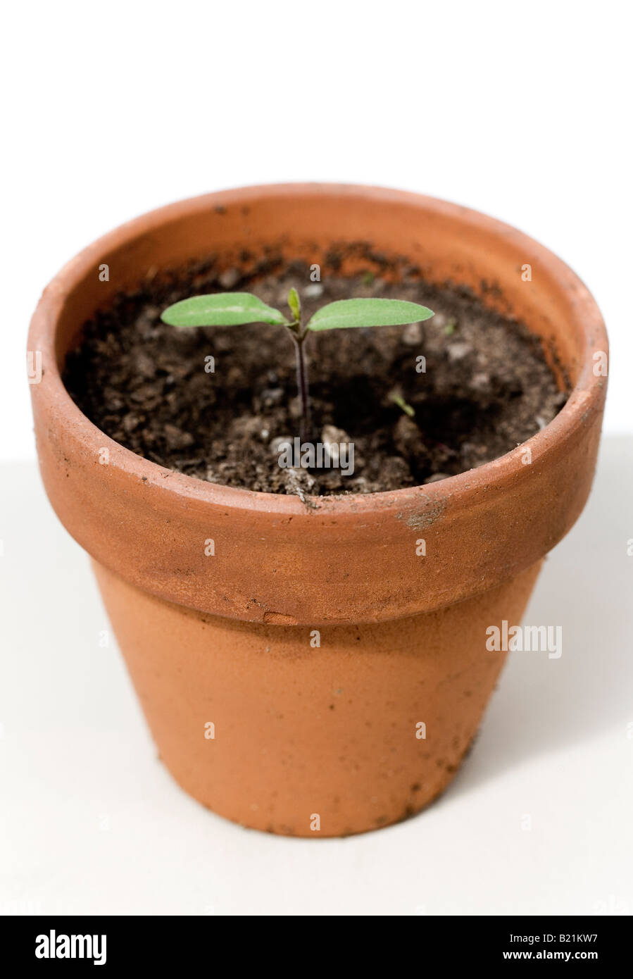 Tomato seedling in a terra-cotta pot - Stock Image