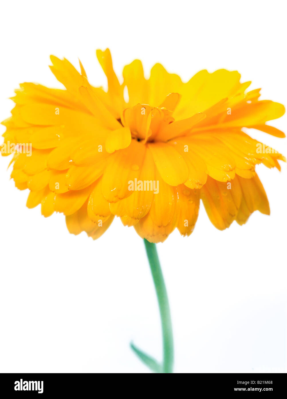 Studio shot of a yellow Marigold against a white background. Latin name 'Calendula officinalis' - Stock Image
