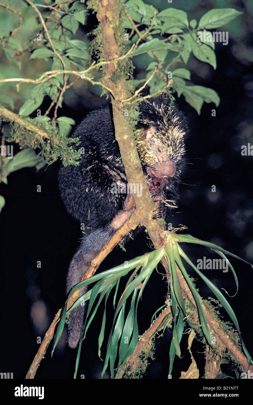 Mexican Hairy Porcupine Sphiggurus mexicanus Monteverde Costa Rica March Adult Erethizontidae Stock Photo