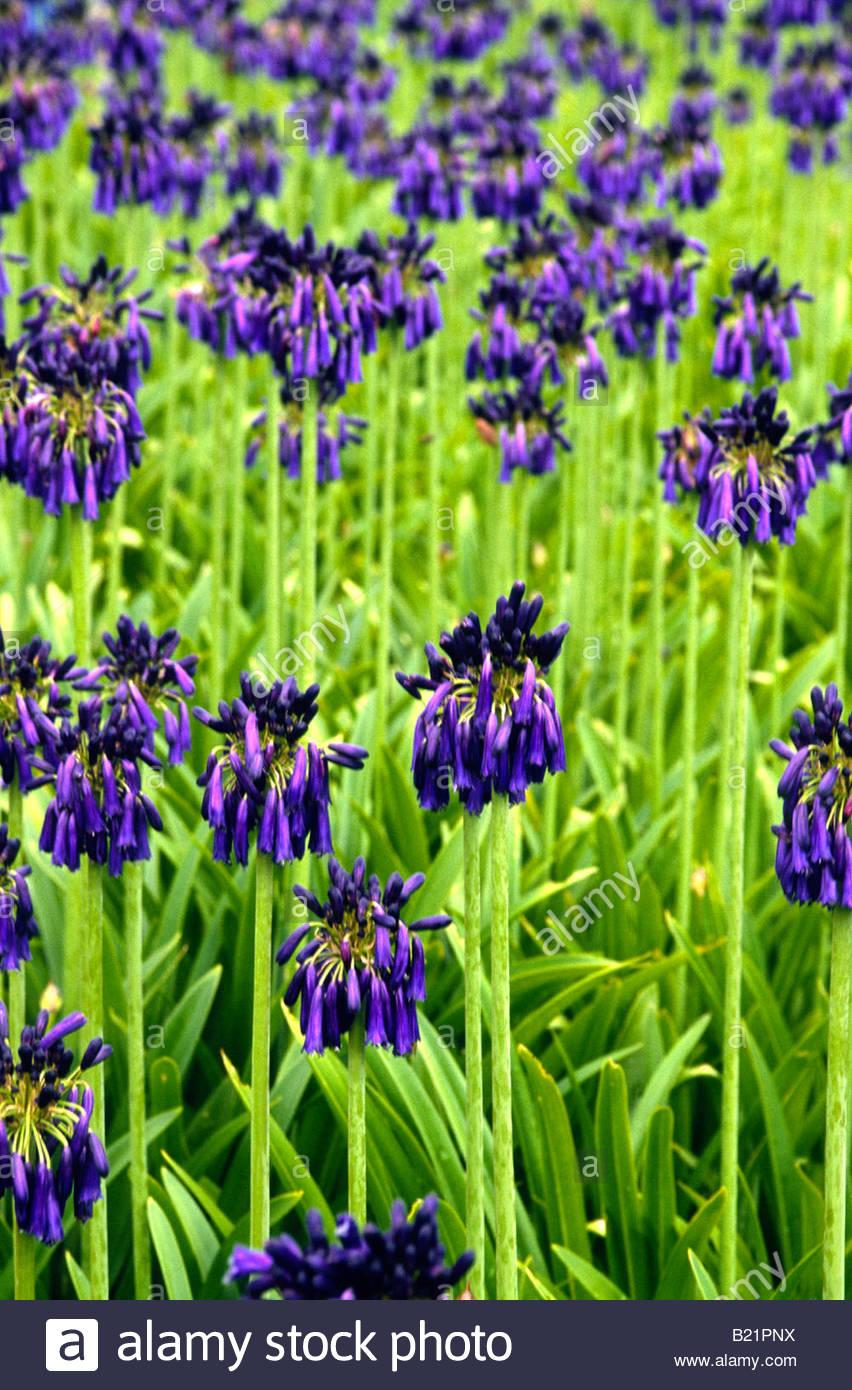 Agapanthus Inapertus Blue Flower Stock Photos Agapanthus Inapertus