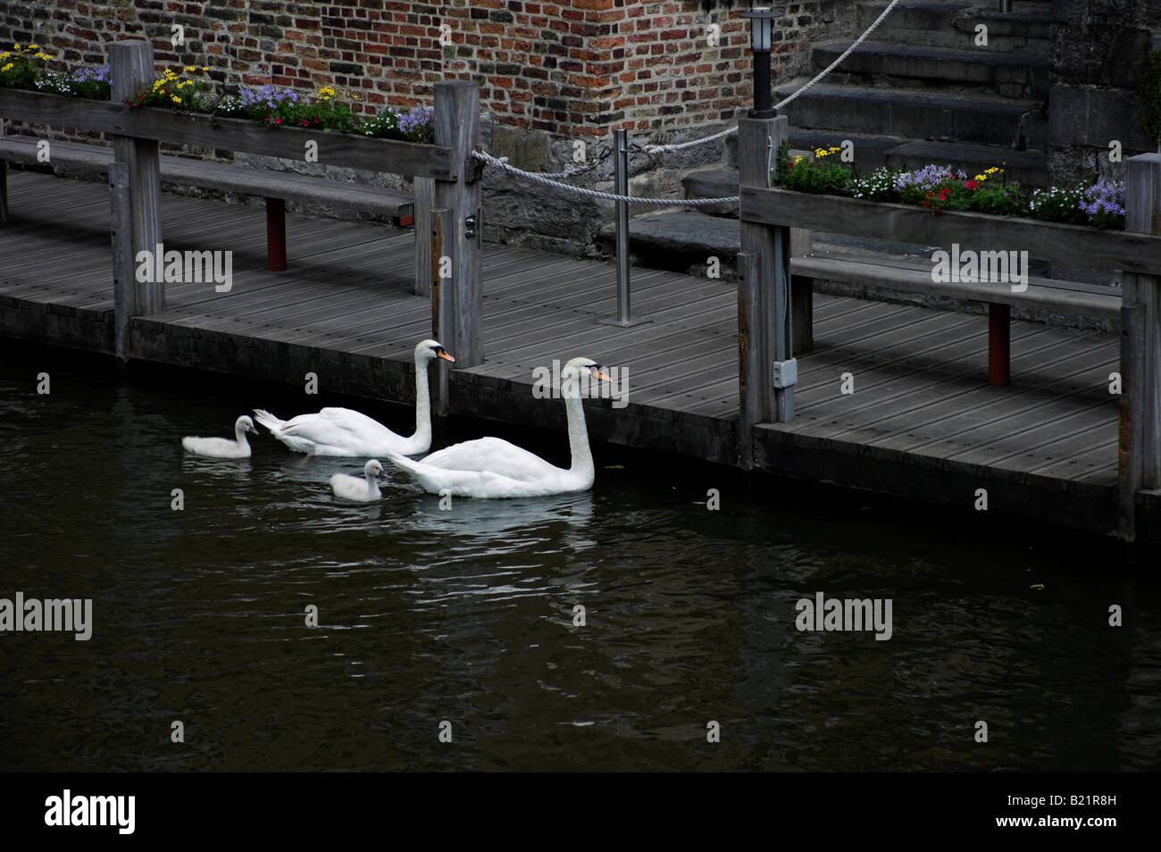 Two adult swans and cygnets on canal, Bruges, Brugge, Flanders, Belgium, Europe Stock Photo