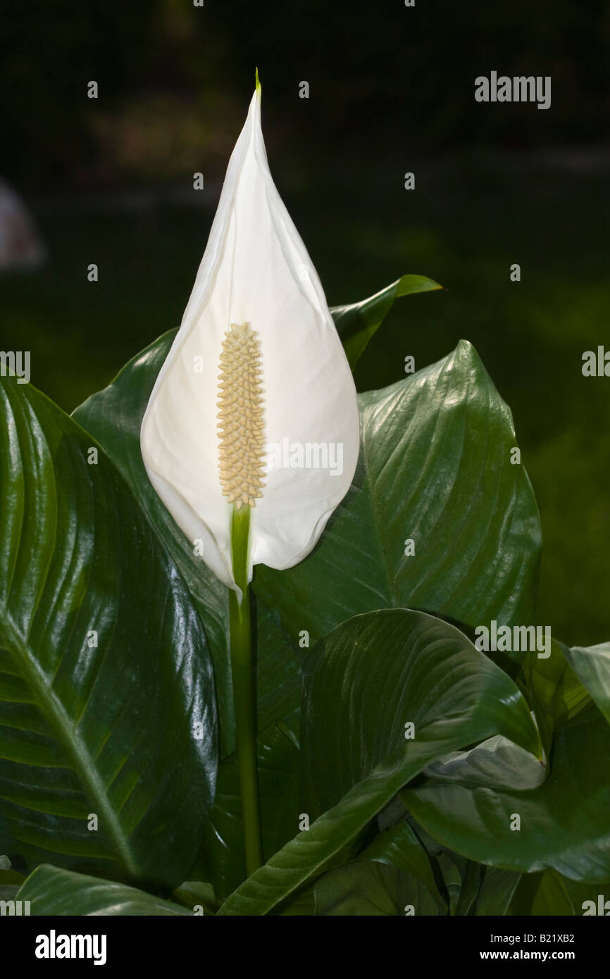 White spathiphyllum peace lily flower house on blurry background white spathiphyllum peace lily flower house on blurry background close up closeup detail display from above nobody not people izmirmasajfo