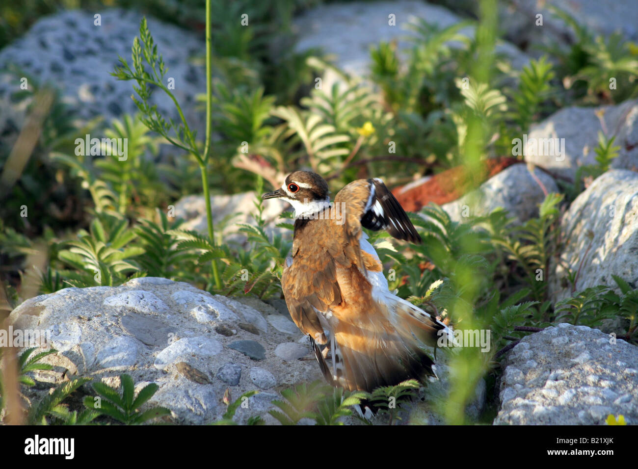 Killdeer defence tactics in nesting site in Colnel Samuel Smith Park, Toronto, Canada - Stock Image