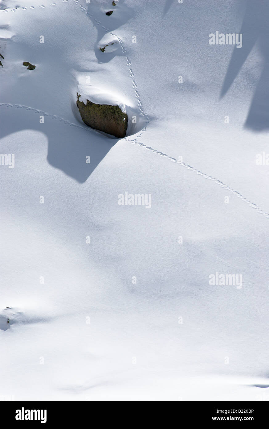 Rabbit tracks in fresh nicely textured snow surface - Stock Image