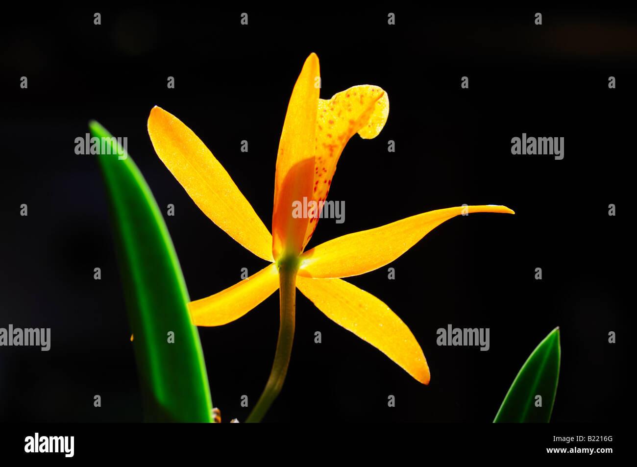 Orchid flower, Brassolaeliocattleya Blc. Haleahi Sunbow x Blc. Richard Mueller. - Stock Image
