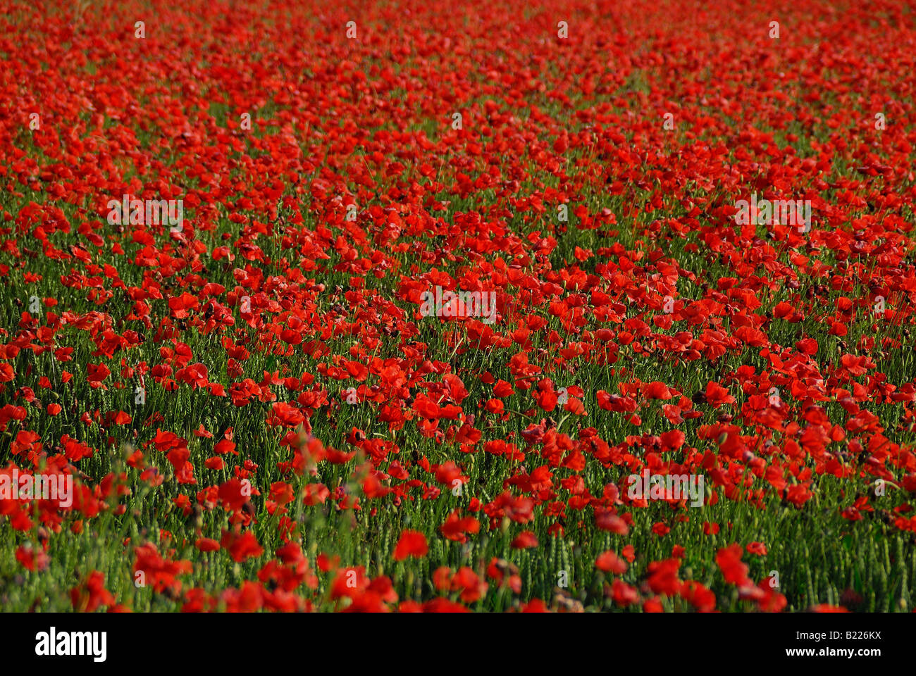 poppies fields forever - Stock Image