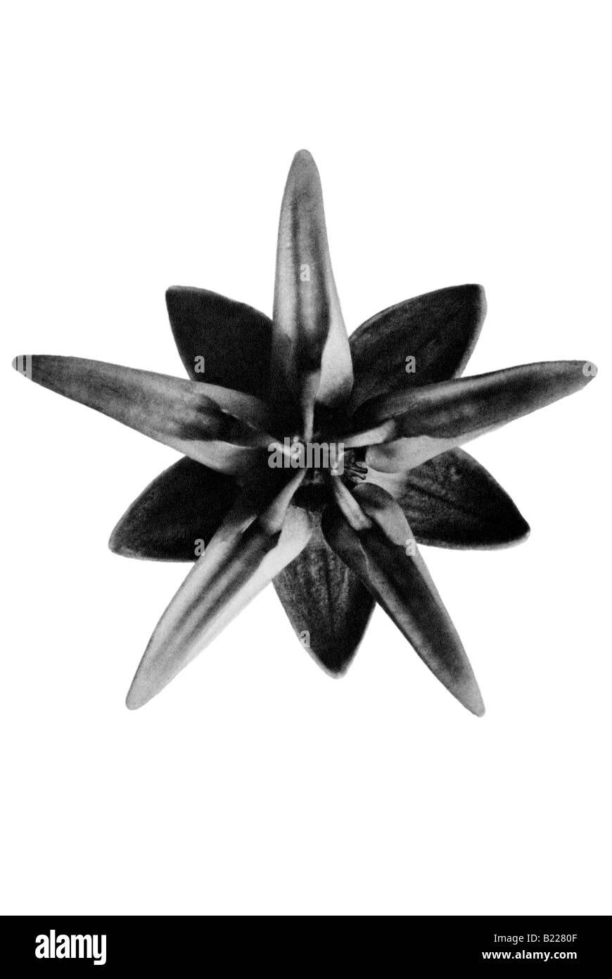 Silkweed Archetypes of Art Karl Blossfeldt Urformen der Kunst Stock Photo