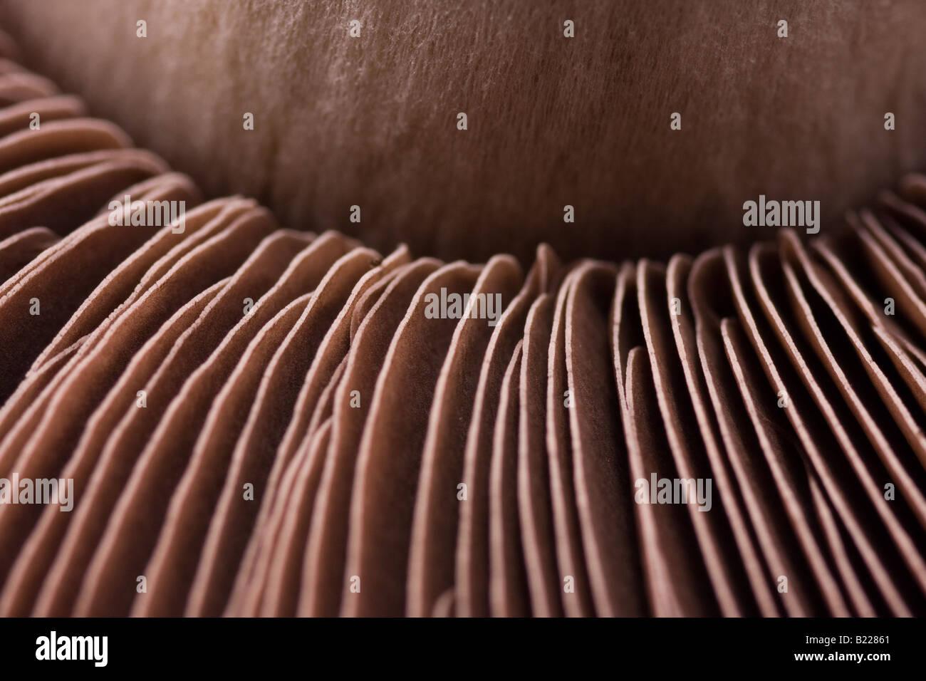 Portobello Mushroom, Macro - Stock Image