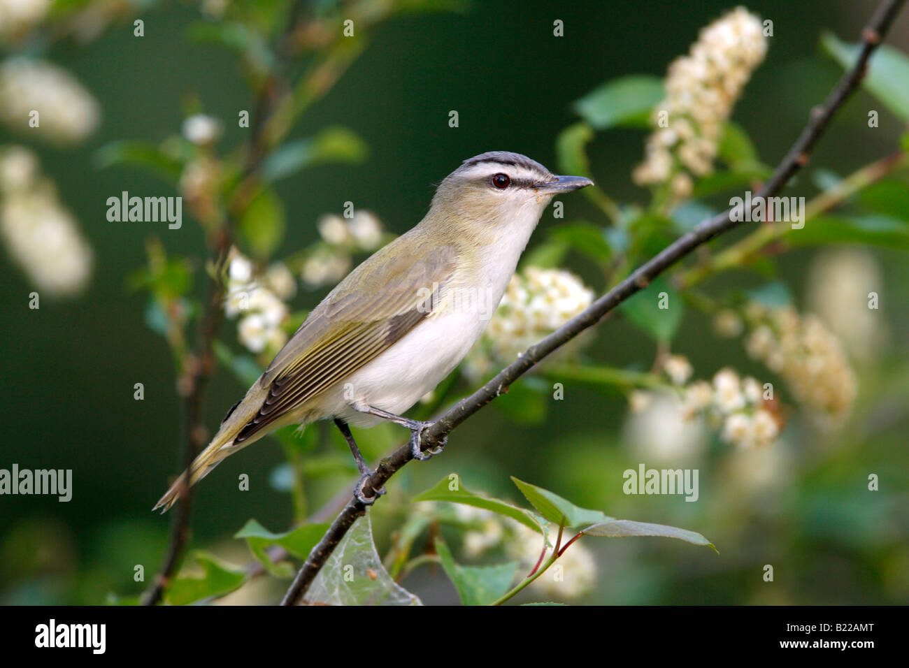 Red eyed Vireo perched in wild black cherry tree with blossoms - Stock Image