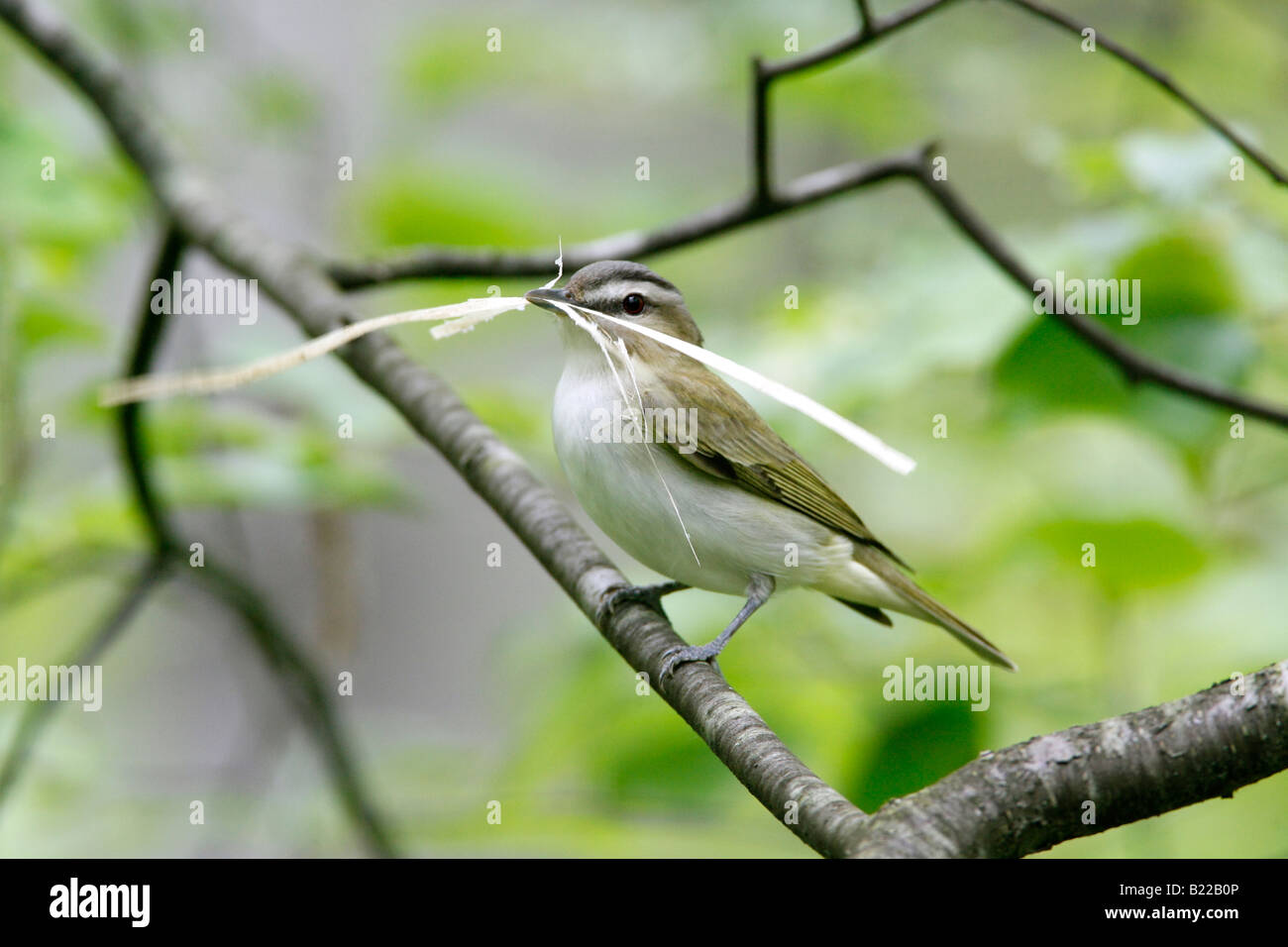 Red eyed Vireo with Nest Material - Stock Image