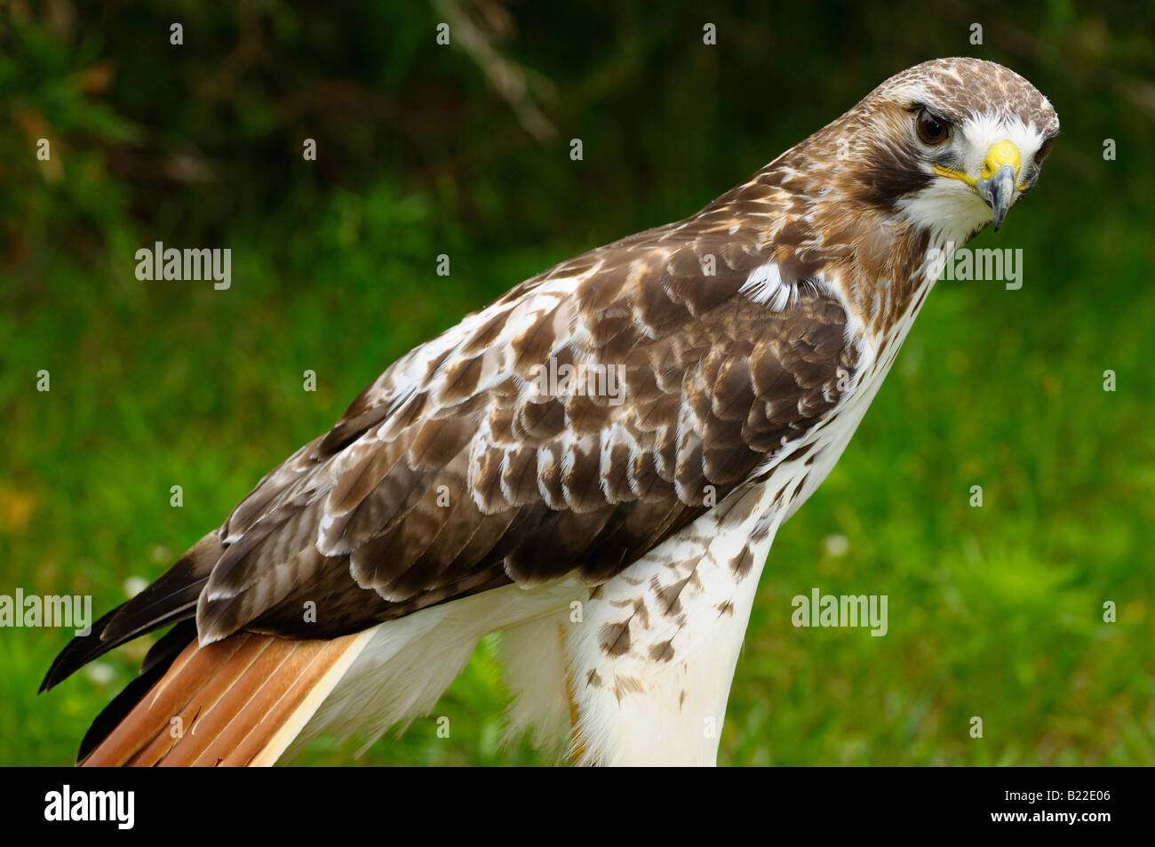 red tailed hawk coloring page.html