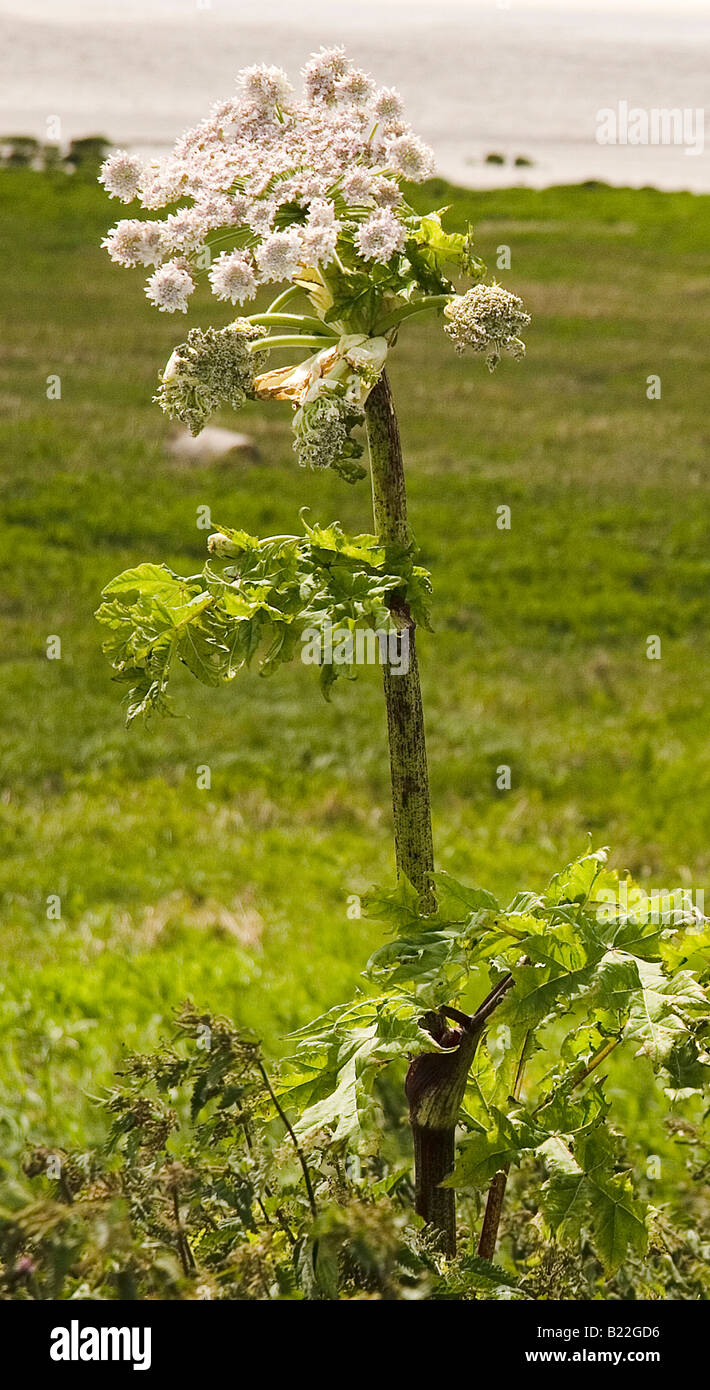 Giant hogweed plant, Newport wetlands Uskmouth Gwent Cymru SE Wales UK Stock Photo