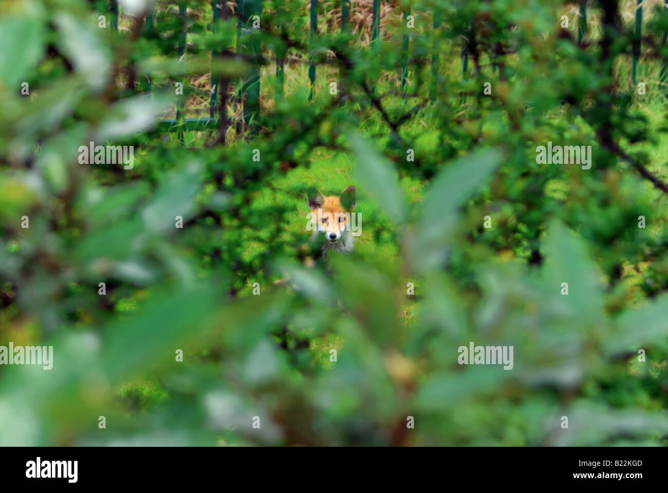 Young fox in undergrowth in English countryside Stock Photo