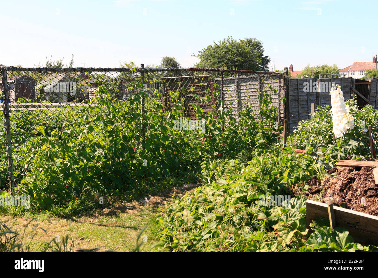 crops growing on allotment - Stock Image