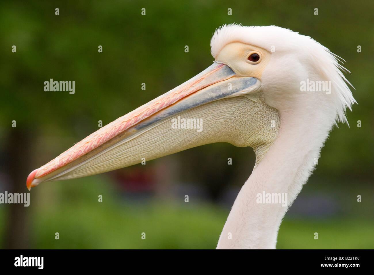 Symbolism Of The Pelican Stock Photos Symbolism Of The Pelican