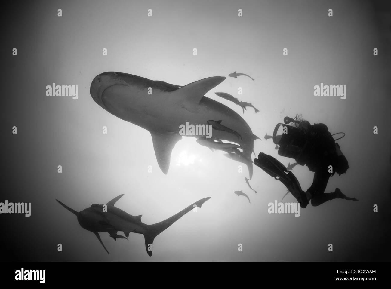 tiger shark and scuba diver Galeocerdo cuvier Aliwal Shoal Kwazulu Natal South Africa Indian Ocean Stock Photo