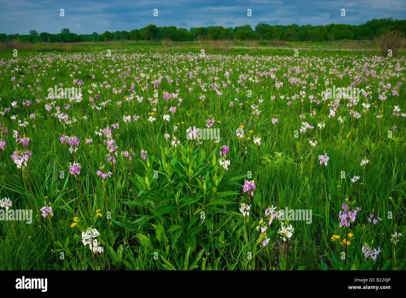 Prairie with Shooting Stars (Dodecatheon meadia) Wisconsin USA, by Willard Clay/Dembinsky Photo Assoc - Stock Image
