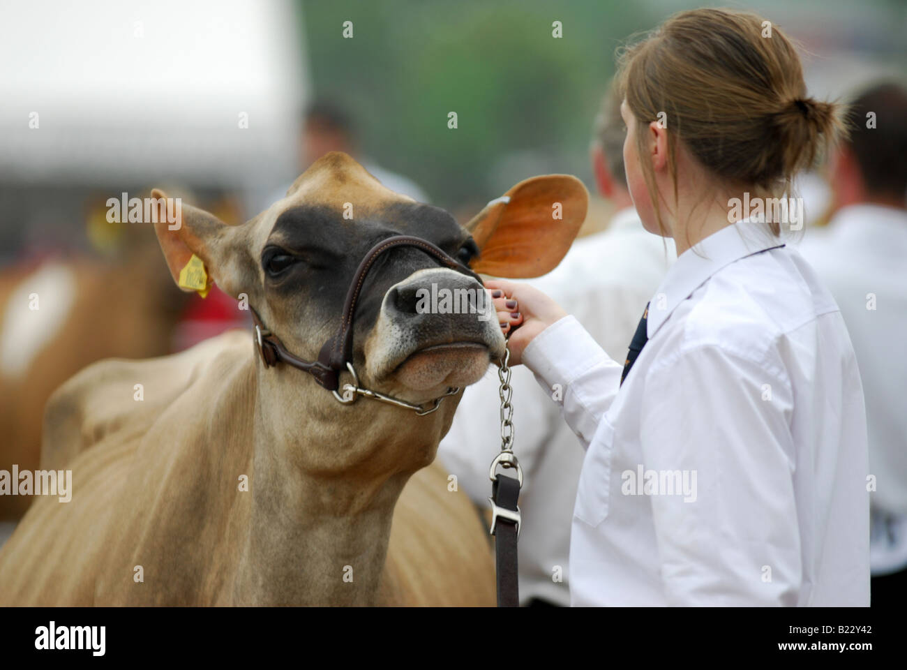 Jersey cows parade for the judges at the Devon County Show - Stock Image