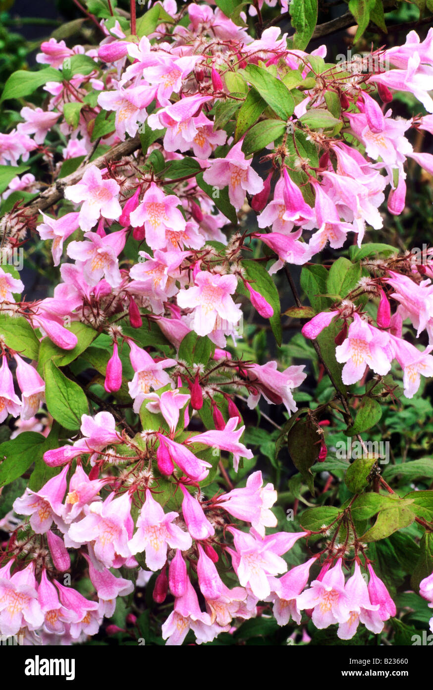 Kolkwitzia amabilis pink cloud beauty bush pink flower garden kolkwitzia amabilis pink cloud beauty bush pink flower garden plant mightylinksfo