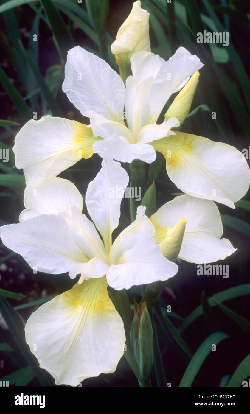 Iris Sibirica Dreaming Yellow Siberian Flag White And Yellow