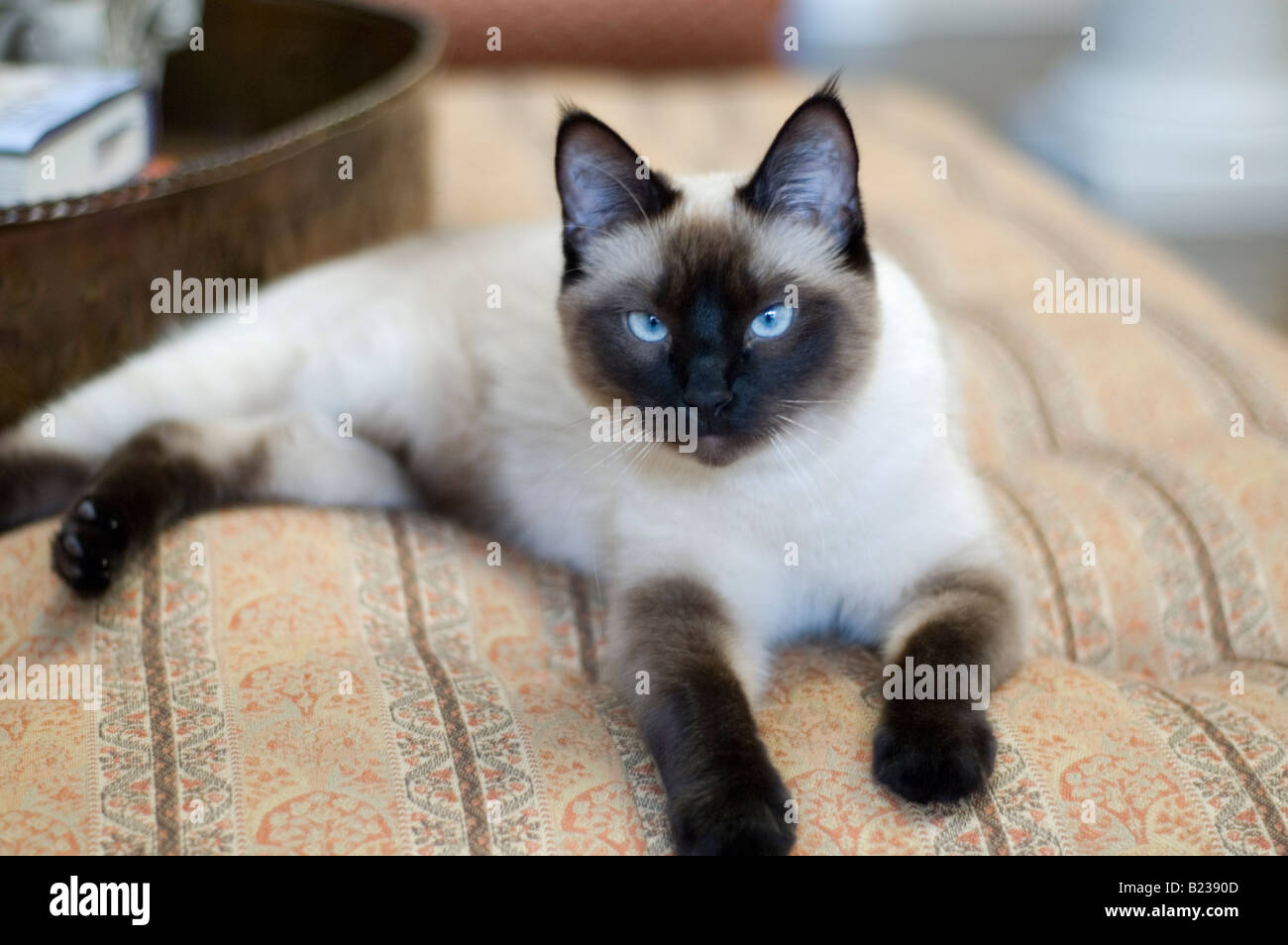 Seal Point Siamese Cat Stock Photos Seal Point Siamese Cat Stock