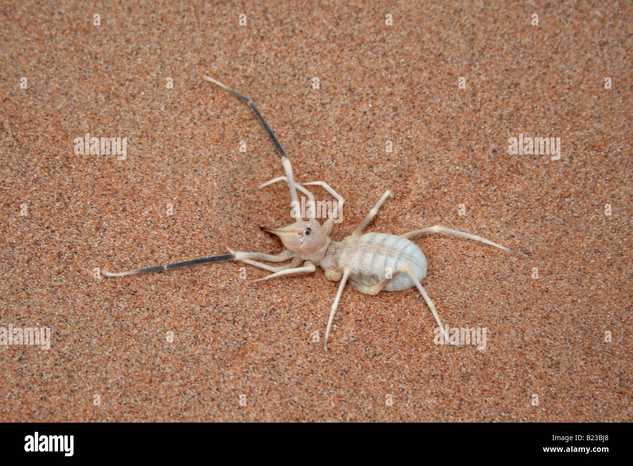 Camel spider, Wahiba Sands, Sultanate of Oman - Stock Image