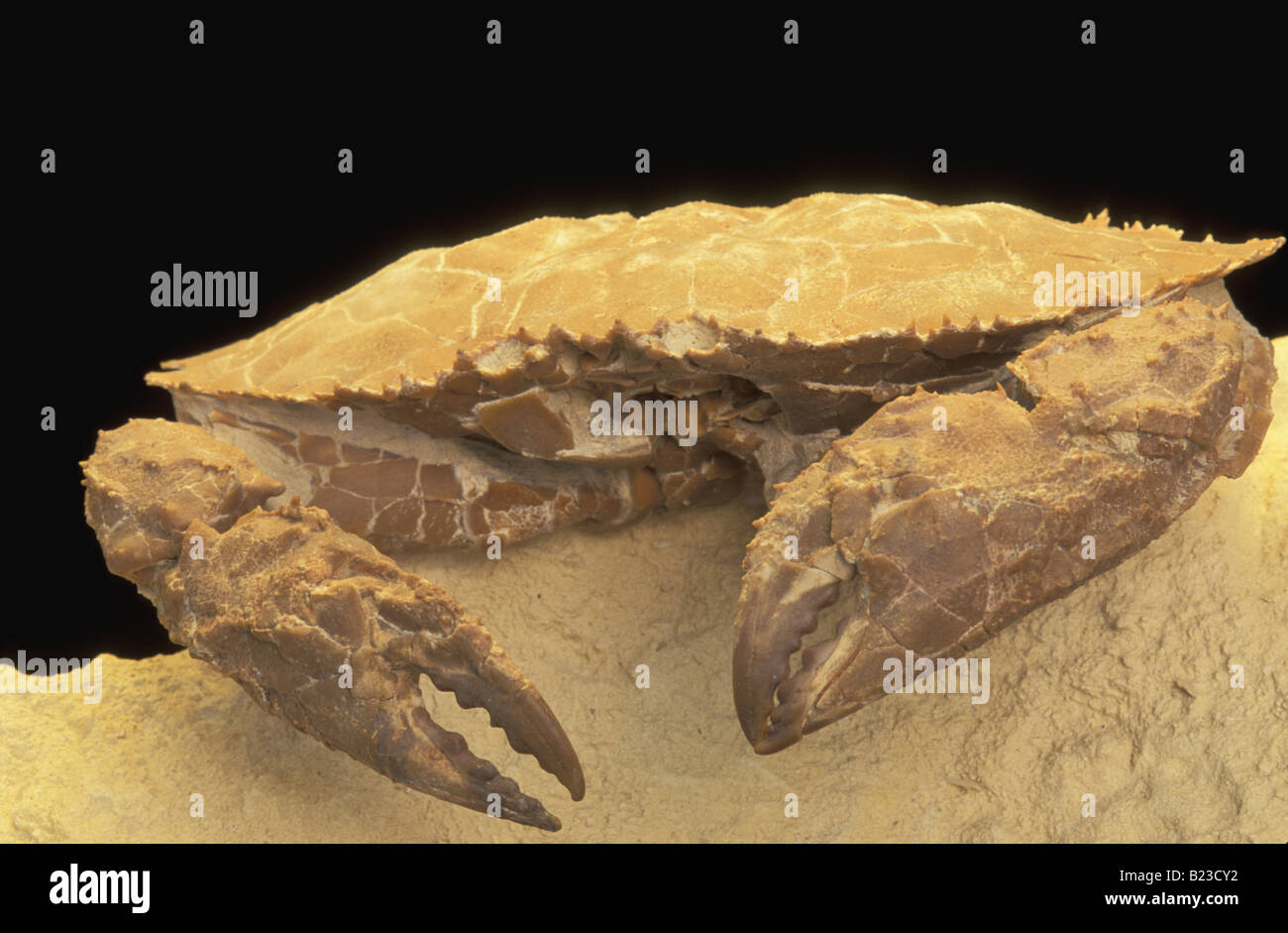 Fossil Crab - Stock Image