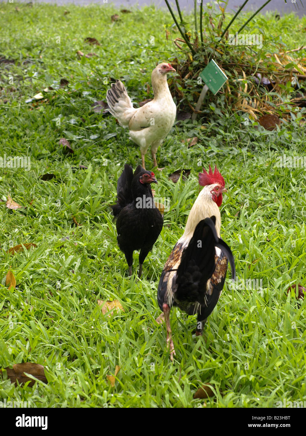 feral black and white hens red head rooster wild chickens Stock Photo
