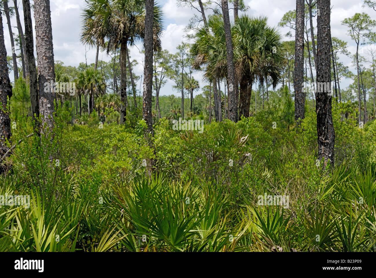 Pine flatwood ecosystem in southern Florida Corkscrew Swamp Audubon Sanctuary - Stock Image