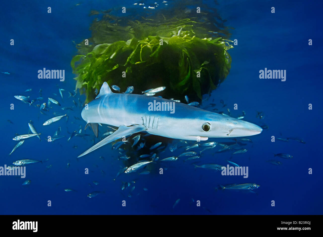 Blue Shark With Jack Mackerel Under Drifting Kelp Paddy Stock Photo